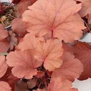 alunrot-royal-ruby-12cm-kruka-1