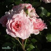 klasblommande-ros-bonica-20cm-kruka-1