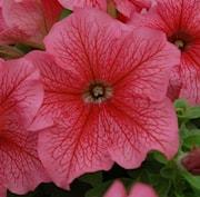 petunia-limbo-red-veined-9cm-kruka-1