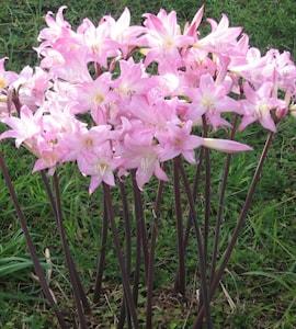 amaryllis-belladonna-pink-1st-1