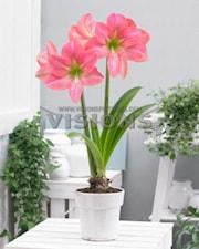 amaryllis-pink-princess-1