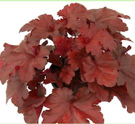 alunrot-forever-red-12cm-kruka-1