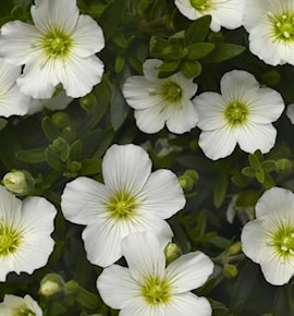 bergnarv-summer-white-compact-9cm-kruka-1