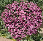 minipetunia-superbells-unique-hot-pink-105-cm-1