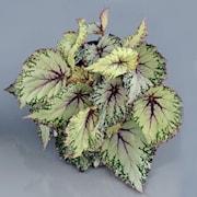 begonia-beleaf-asian-thundra-12cm-kruka-1