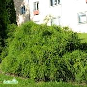 dvrgrtcypress-filifera-nana-c15-2-1