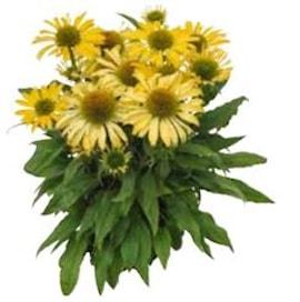 rudbeckia-summerina-pumpernickel-105cm-kruka-1