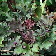 alunrot-purple-petticoats-12cm-kruka-1