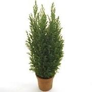 jul-en-delcypress-ellwoodii-9cm-kruka-1