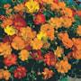 gullskra-ladybird-mixed-3