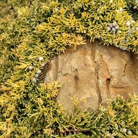 guldkrypen-golden-carpet-c15-c2-1
