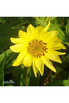 septembersolros-lemon-queen-2st-barrotad-1