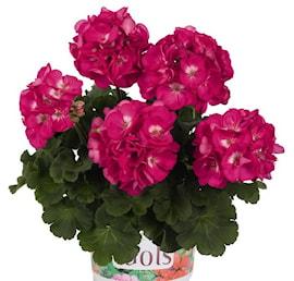 zonalpelargon-green-idols-rose-with-eye-105cm-1