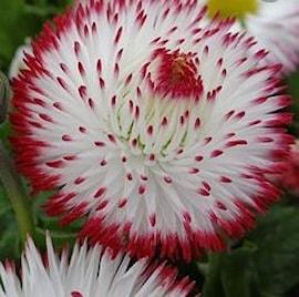 tusenskna-habanera-white-with-red-tips-1