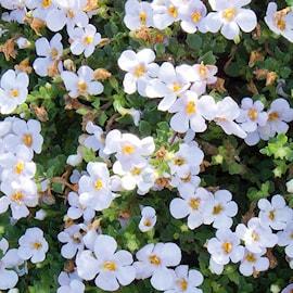 snflinga-snowflake---3-plantor-1