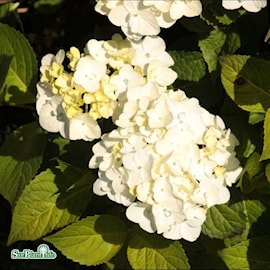 hortensia-endless-summer-the-bride-50-l-co-1