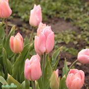 tidig-enkel-tulpan-apricot-beauty-8st-1