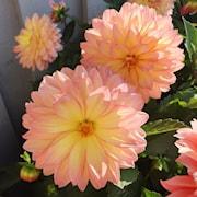dahlia-gardenetta-peach-105cm-kruka-1