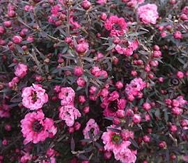 rosenmyrten-dubbel-19cm-kruka-1
