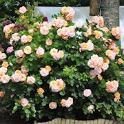 buskkltterros-mia-rosenmager-20cm-kruka-1