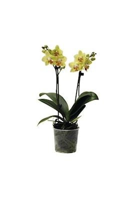 hornum-orkidpinne-tr-grn-10st-1