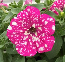 petunia-baby-doll---3-plantor-1