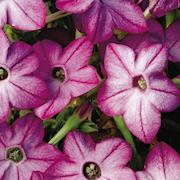 blomstertobak-saratoga-purple-bicolor-105cm-k-1