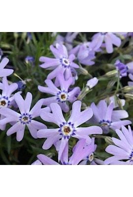 flox-fabulous-blue-violet-9cm-kruka-1