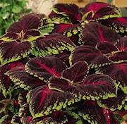 palettblad-kong-red-105cm-kruka-1