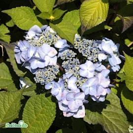 hortensia-endless-summer-twist-n-shout-5l-co-1