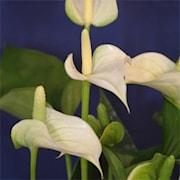 rosenkalla-anthurium-white-champion-12cm-1