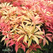 japansk-buskrosling-forest-flame-c2-3-1