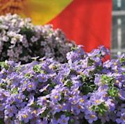 snflinga-gulliver-blue---3-plantor-1