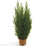 jul-en-delcypress-ellwoodii-55cm-kruka-1