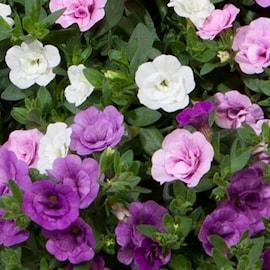 minipetunia-trixi-pink-petticoat---3-plantor-1