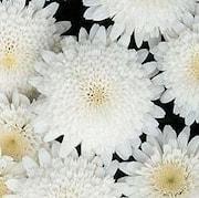 margerit-madeira-double-white-105cm-kruka-1