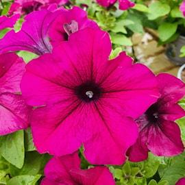 petunia-viva-purple-12cm-kruka-1