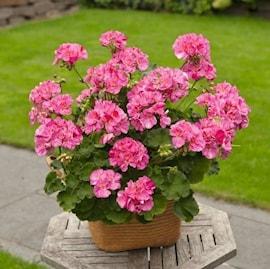 zonalpelargon-pink-batik-3st-sticklingar-1