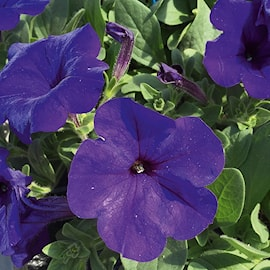 petunia-veranda-dark-blue---3-plantor-1